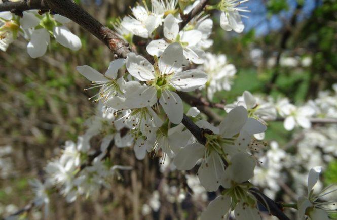 Ganz viele kleine weiße Blüten auf einem Ast