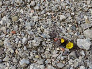 Ein kleiner Huflattich auf einem Schotterboden