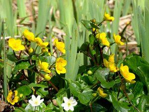 Dotterblumen und Buschwindröschen nehmen Platz