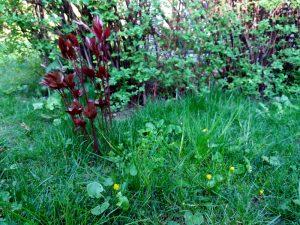 Ein kleiner Teil von der Wiese in meinem Garten mit dem Pfingstrosen-Triebling und dem Scharbockskraut