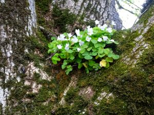 Sauerklee wächst an einem Baum