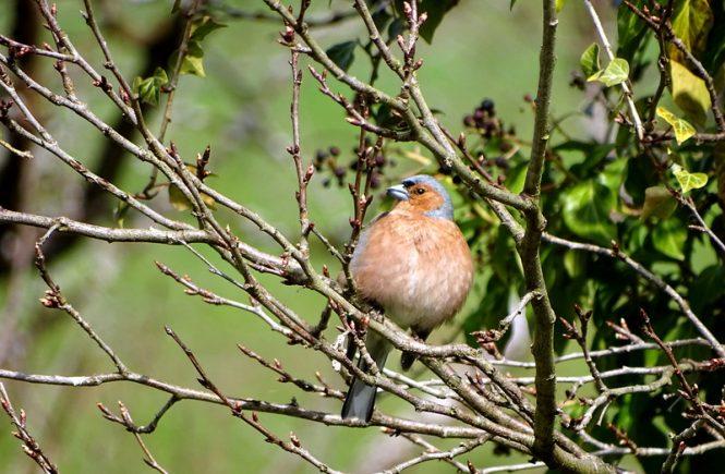 Ein Vogel mit einem roten Bauch sitzt auf einem Ast. Er steht für das Glück - Das Glück is a Vogerl