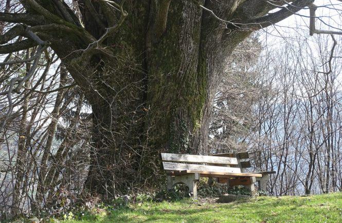 Zwei Bänke vor einem uralten Baum. Es gibt noch keine Blätter, weil es Foto im Frühling ist.