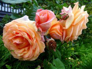 Aprikotfarbene Rosenblüten in verschiedenen Stadien von Knospe über blühende Rose bis zur verwelkten Rose.