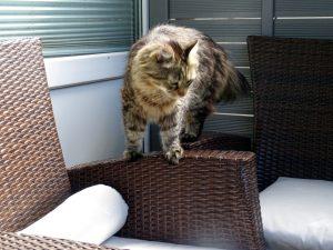 Kater Caruso sitzt auf den Terrassen-Möbeln herum - dunkelbraune Polyrattan-Möbel mit hellgrauen Sitzen