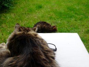 Im Vordergrund liegt Kater Caruso auf einem Sitzkissen und schaut Kater Rico zu. Er sitzt in der grünen Wiese