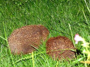 Zwei Igel in meiner Wiese am Abend.