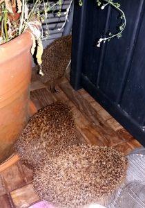 Drei Igel auf meiner Terrasse, zwei sitzen im Vordergrund. Der dritte Igel verschwindet zwischen dem Schiebe-Element und der Gartentruhe.