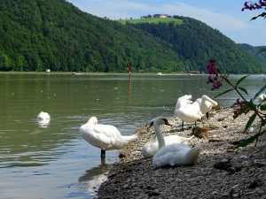 Am Ufer der Donau sitzen einige Schwäne und putzen sich.