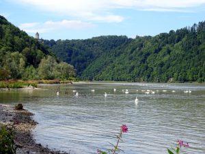 Die Donau mit ganz vielen Schwänen im Vordergrund und im Hintergrund das Donautal