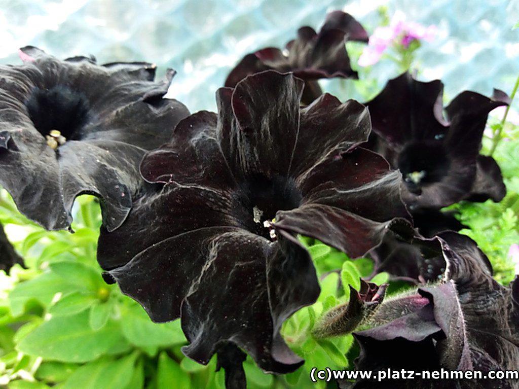Ganz dunkle, fast schwarze Blüten die dem Blumenhorn des Zwerges sehr ähnlich sehen.