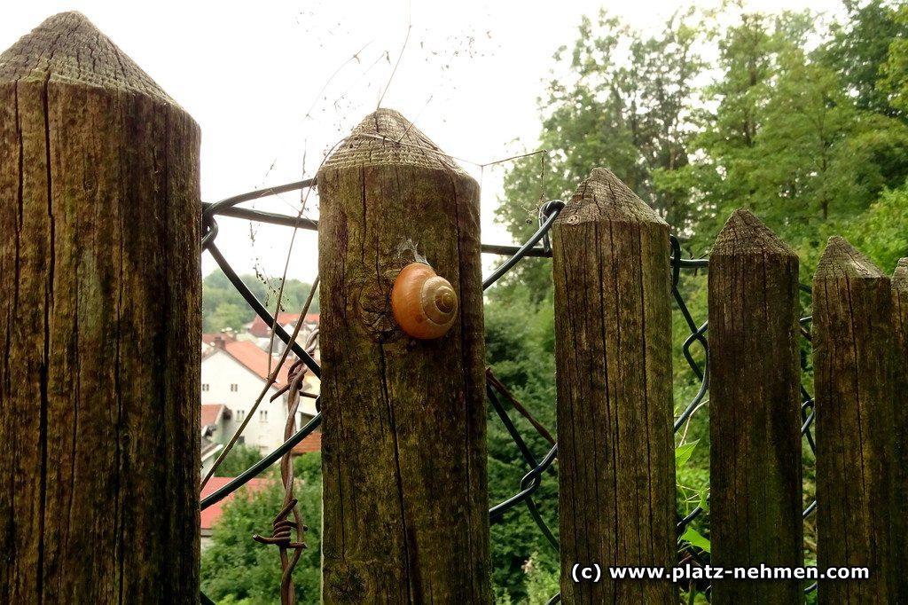 Eine Häuslschnecke, die an einem Holzpfosten klebt. Dieser ist Teil eines Zaunes