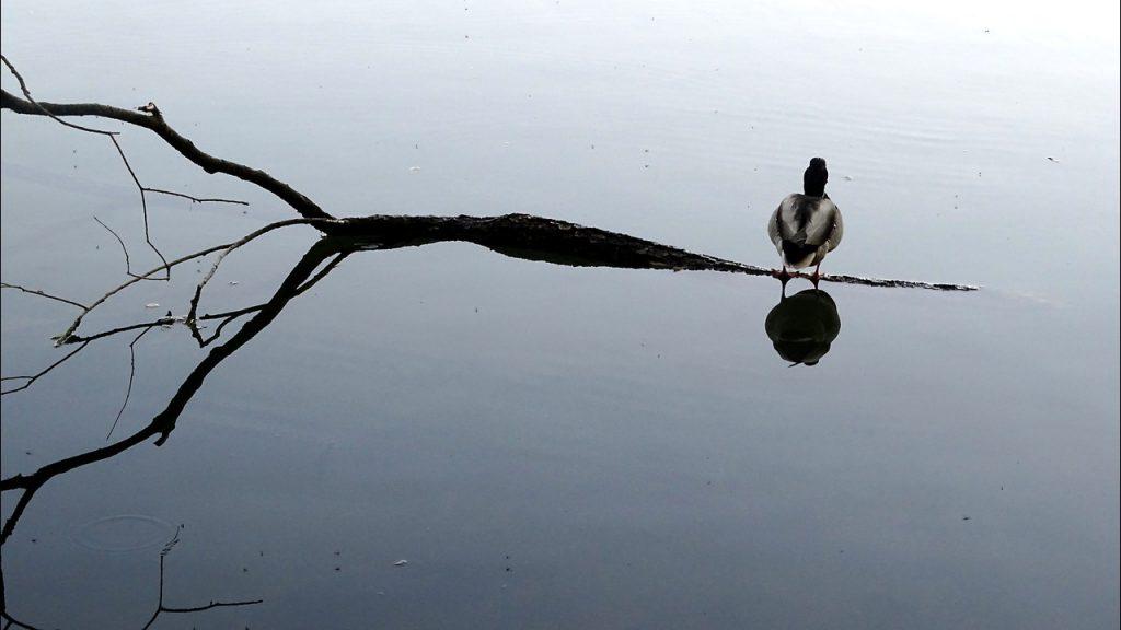 Eine Ente sitzt auf einem gefluteten Ast im Salzachsee