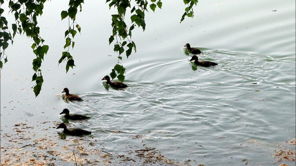 Sechs Entenküken schwimmen im Karlsbader Weiher