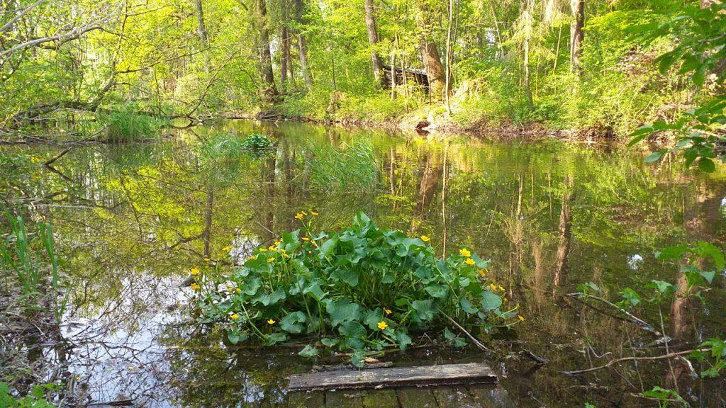 Wie eine Insel wächst im Wasser der Altglan ein Büschel von Sumpfdotterblumen