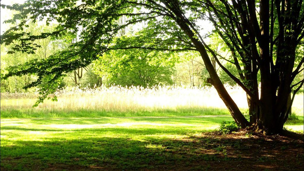 Im Vordergrund eine Hainbuche im Schatten und im Hintergrund golden scheinendes Gras
