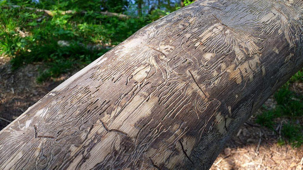 Käfer haben Maserungen in Baumstämme ohne Rinde gearbeitet