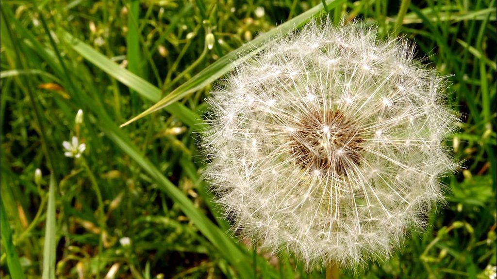 Eine Pusteblume mit Wiese im Hintergrund
