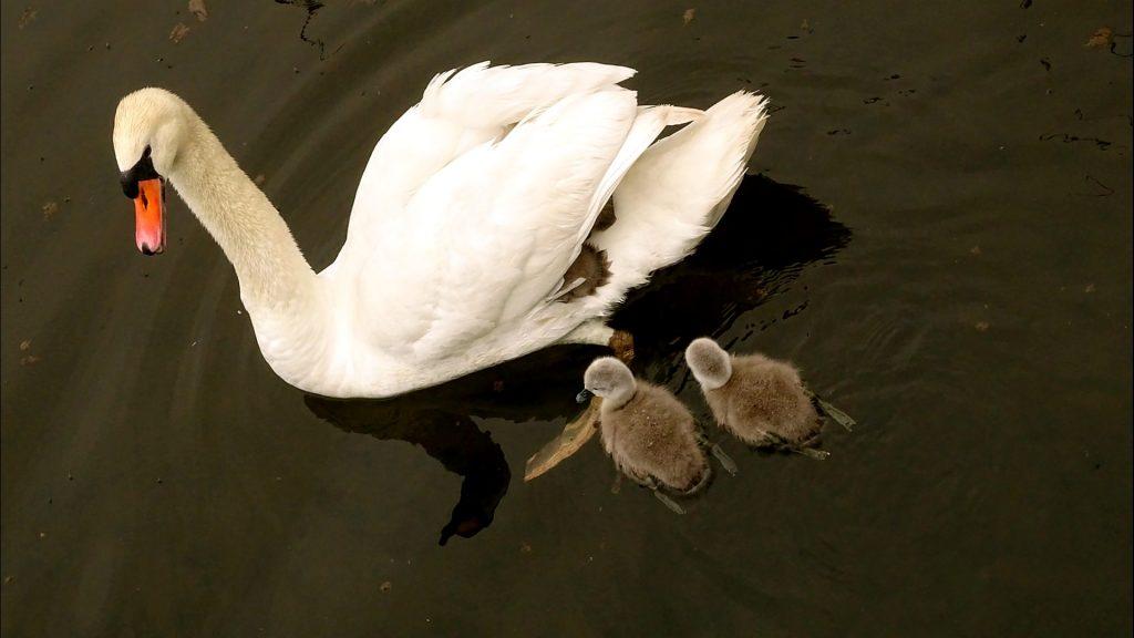 Schwänin mit zwei Küken im Wasser und zwei zwischen ihren Flügeln