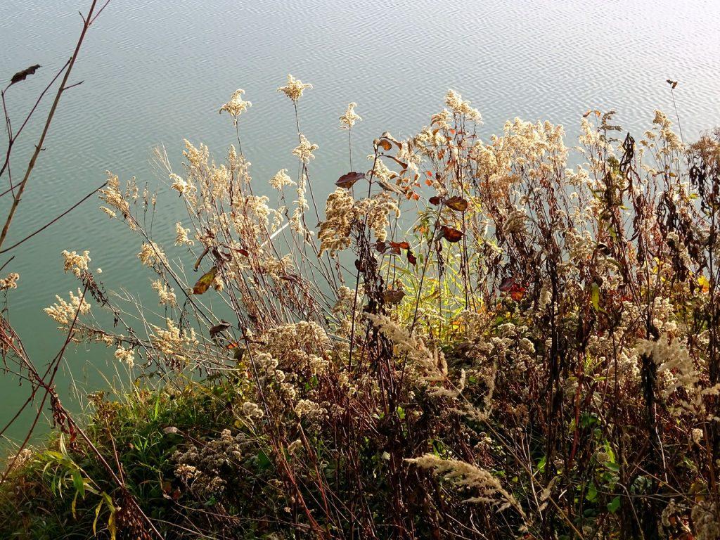 Getrocknete Goldrute silberglänzend vor dem Wasser des Sees