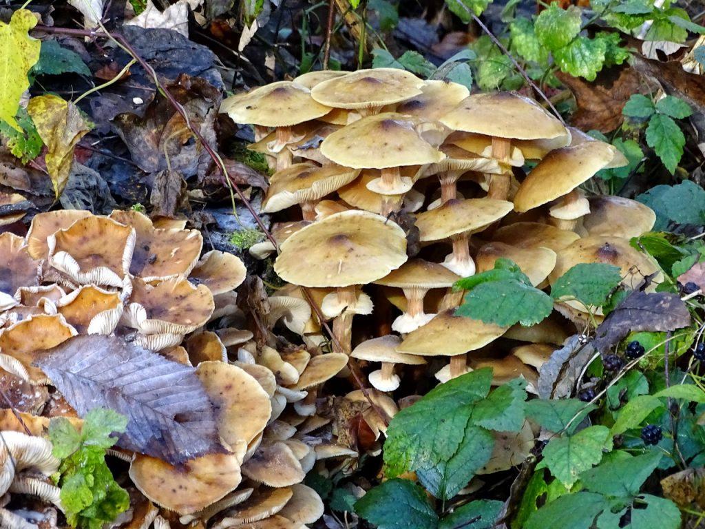 Gruppe von braunen Pilzen am Waldboden